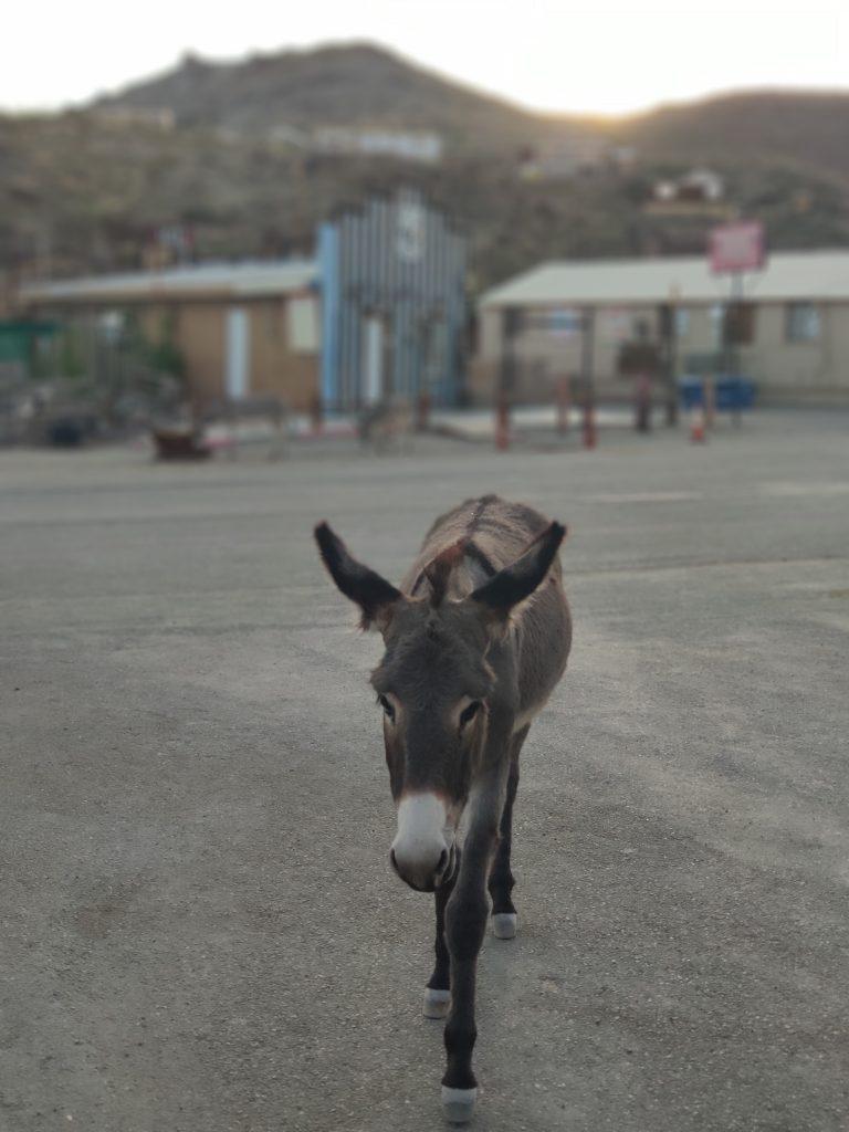 burros en oatman