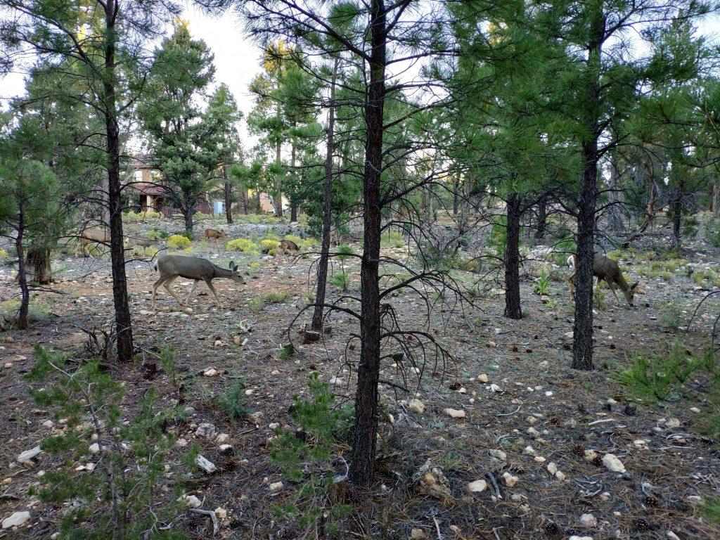 ciervos en el gran cañon